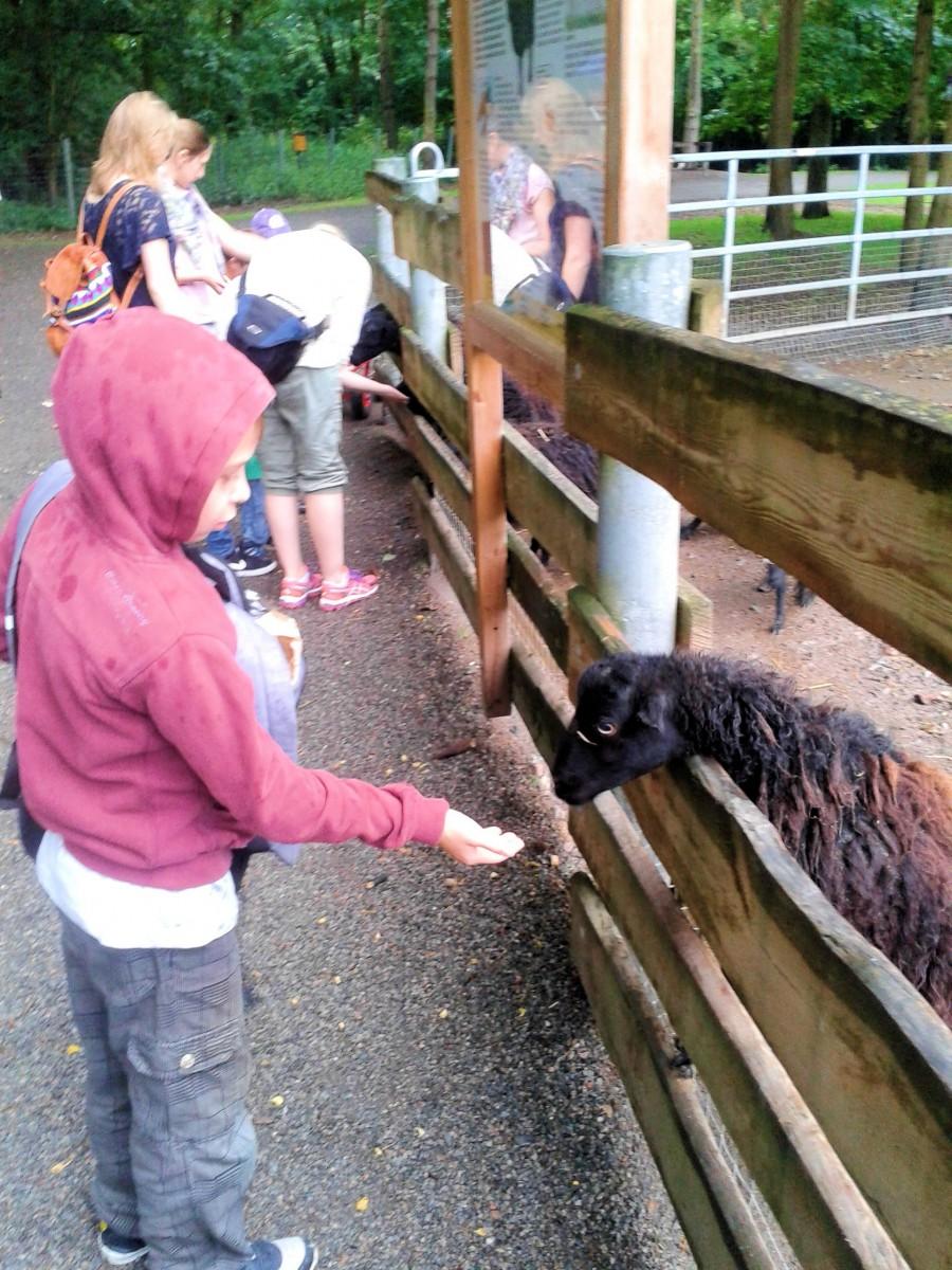Schafe 5