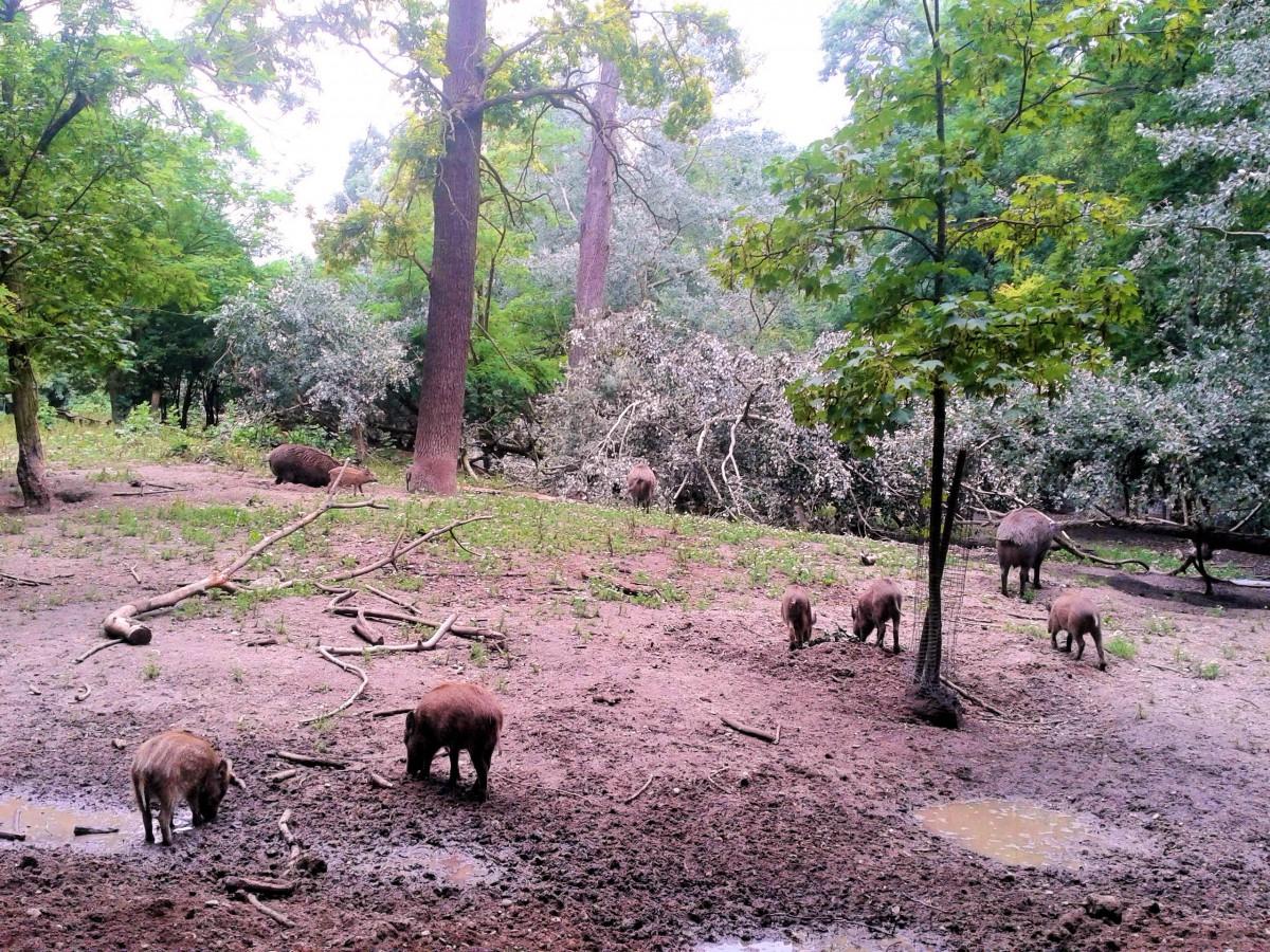 Wildschweine 5