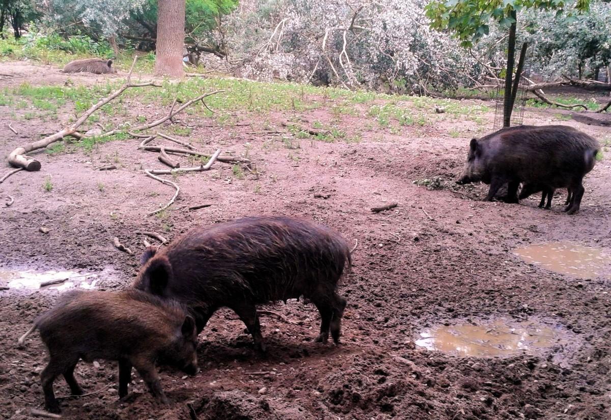 Wildschweine 7